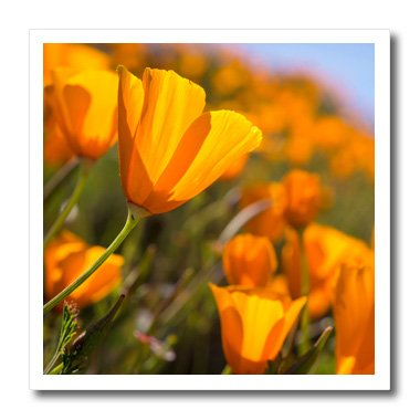 Danita Delimont - Flowers - California Poppies, Paso Robles - 6x6 Iron on Heat Transfer for White Material (ht_230231_2)