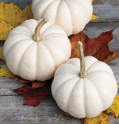 David's Garden Seeds Pumpkin Casperita D3076A (White) 25 Hybrid Seeds