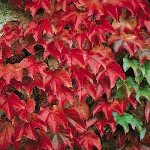"""Boston Ivy Plant - Parthenocissus ticuspidata Veitchii - 2.5"""" Pot"""