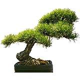 Tropica Bonsai pino dorado (Pinus ponderosa) - 20 semillas