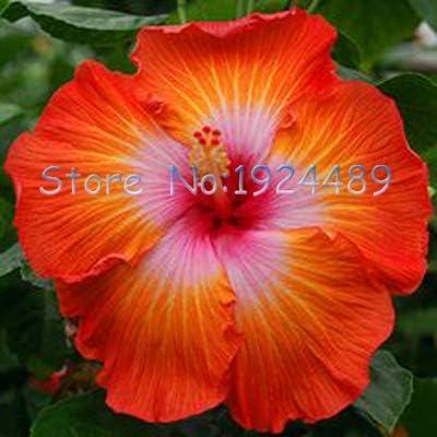 Tutti I Tipi Di Fiori.Green Seeds Co Diversi Tipi Di Fiori Di Ibisco In Stile