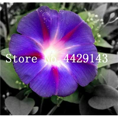 Kasuki 100 Pcs/Bag Rare Star Petunia Blue Bonsai Garden and Patio Potted Plant Morning Glory Flowers Bonsai petuniya Bonsai - (Color: 12): Garden & Outdoor