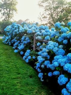 10 Blue Hydrangea Flower Seeds,beautiful Color ,Wedding Party Flower Plant