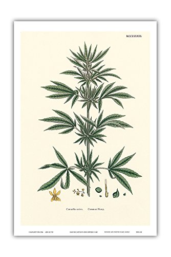 Cannabis Sativa - Common Hemp - Vintage Hand Colored Botanical Illustration by John Sowerby c.1883 - Hawaiian Master Art Print - 12 x 18in