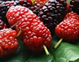 HOO PRODUCTS - 200 Mulberry tree seeds Morus Nigra fruit seeds in Bonsai, sweet mulberry seeds for home garden plant Mix color(Red and black) Hot Sale!