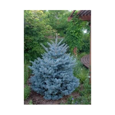 Montgomery Dwarf Blue Picea- Grows Only 4 feet Tall - 3 Year Live Plant : Garden & Outdoor