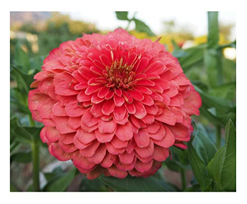 David's Garden Seeds Flower Zinnia Giant Dahlia Flowered Coral SL1872 (Pinkish) 100 Non-GMO, Open Pollinated Seeds ()