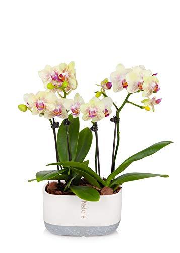 Just Add Ice Mini Orchid Planter, Light Yellow