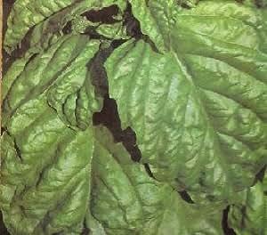 Basil San Valentino Ocimum basilicum 1,000 seeds