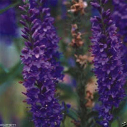 50 Himalayan Catmint - Nepeta clarkei -Catmint, Catnip Seeds,Perennial Herb ! by SS0074