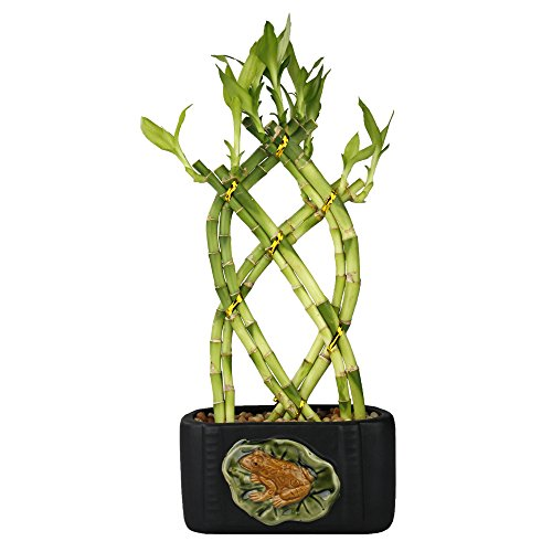 NW Wholesaler - Live Lucky Bamboo 8 Stalk Braided Trellis with Black Ceramic Frog & Lily Design Planter by NW Wholesaler