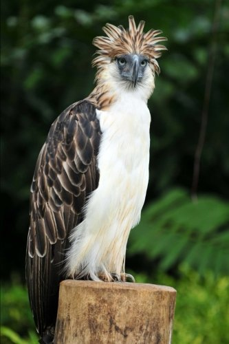 Philippine Eagle Journal: 150 page lined notebook/diary (Philippine Eagle)