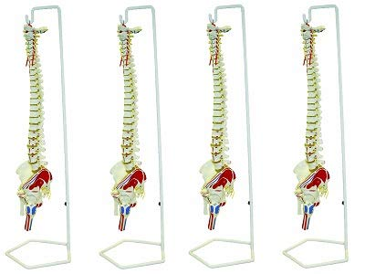 Walter Products B10209 Flexible Human Spinal Column Model with Stand, with Occipital Plate and Pelvis, Life Size, 37'' Length (4) by Walter Products