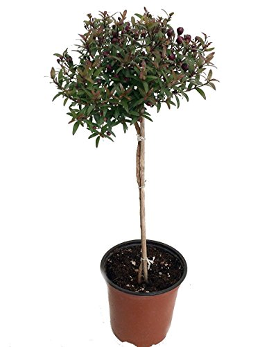 Biblical Myrtle Herb Plant - Myrtus - Ancient Herb - 4.5'' Pot - Topiary by Hirt's Gardens