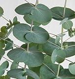 David's Garden Seeds Flower Eucalyptus Silver Dollar D1509A (Green) 50 Open Pollinated Seeds