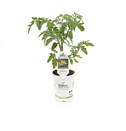 Grand Pineapple (Hawaiian Pineapple Heirloom Tomato, Live Plant, Vegetable, 4.25 in. Grande )