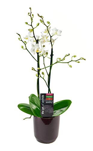 KaBloom Live Orchid Plant Collection: White Phalaenopsis Orchid Plant (18-24 Inches Tall) in a Black Ceramic Bowl Pot