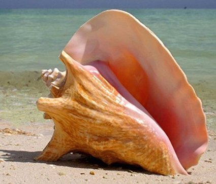 Jumbo HUGE Bahama Queen Conch Seashell (Pink) - Bahamas Pink Conch Shell - 9
