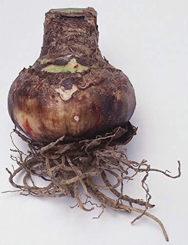 Indoor Charisma Bulb size 26//28 Dutch Amaryllis Hippeastrum