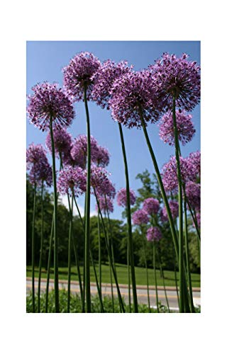 Bulbs Summer Perennial Plant 90Cm High Massive Blooms 5 Allium Purple Sensation GARTHWAITE NURSERIES/® : Hollandicum