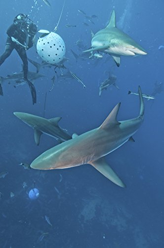 Posterazzi Several oceanic blacktip sharks waiting for food from a diver near a bait ball filled with sardines Aliwal Shoal Umkomaas KwaZulu-Natal South Africa Poster Print (22 x 34)