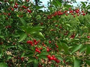Dwarf Sour Cherry Fruit Tree 15 Seeds (Prunus cerasus) Edible Fruits (Dwarf Cherry)