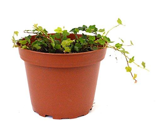 9GreenBox - Mini Oakleaf Creeping Fig - Terrarium/Topiary/HousePlant/Fairy Garden - 4