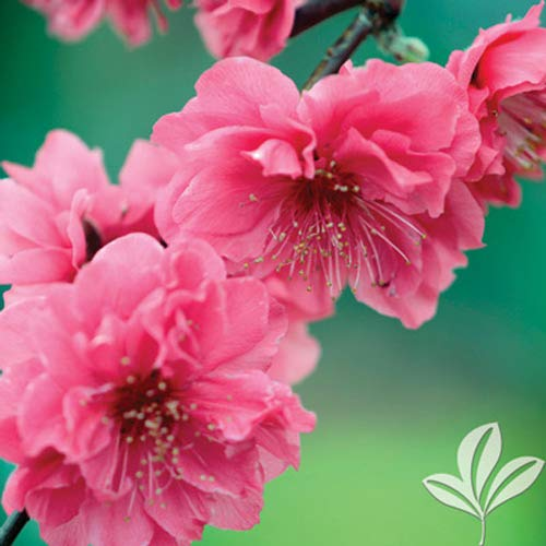 (Crimson Cascade Weeping Flowering Peach Tree- 2 Year Old 4-5 Ft Tall)