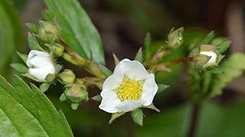100 Seeds of Fragaria virginiana, Virginia Strawberry, Wild Strawberry, Common Strawberry (Commons Center Virginia)