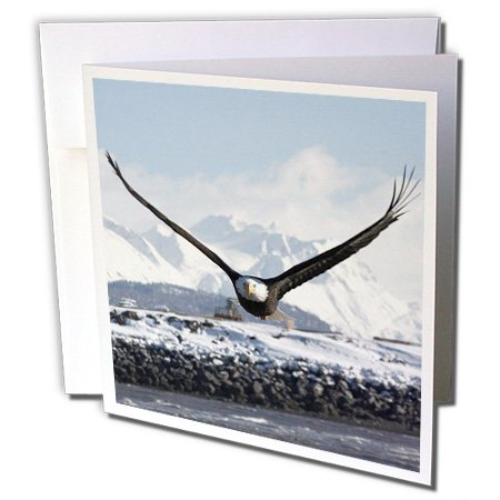 - Bald Eagle, Homer, Alaska - David Northcott - Greeting Cards, 6 x 6 inches, set of 12 (gc_84011_2)