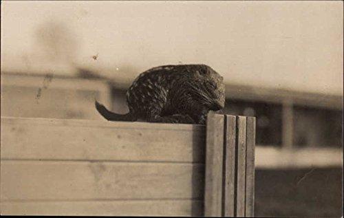 Baby Hedgehog England Other Animals Original Vintage Postcard