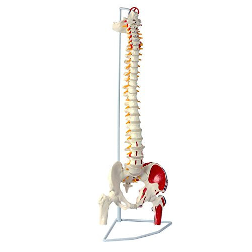 Wellden Classic Flexible Spine Model with Femur Heads and Painted Muscles, Flexible, Life Size, 90cm/35.4, Stand Included