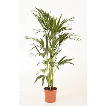 Palme Für Drinnen blumen senf kentia palme 140 150 cm howea forsteriana amazon de garten