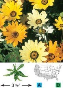 David's Garden Seeds Wildflower African Daisy DGS3216 (Yellow) 500 Open Pollinated Seeds