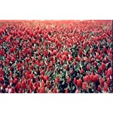 1# Bulk Crimson Clover Seed with Gypsum- Flowering, Cover Crop, Plow Down.