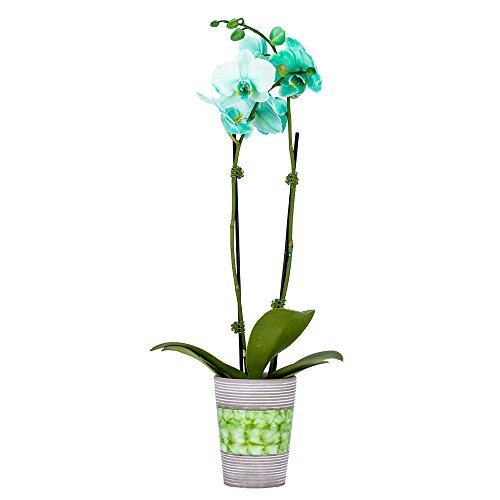DecoBlooms Live Green Orchid, 3 inch Blooms
