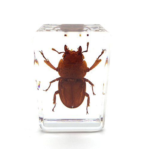 Beetle Paperweights Specimen for Science Education Paperweight for book for office for desk(1.8x1.1x0.8