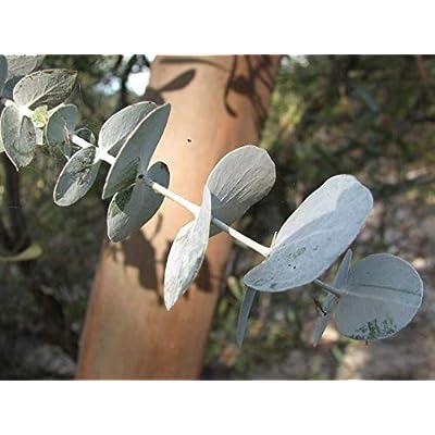 Cheap Fresh Eucalyptus Perriniana Spinning Gum Cold Hardy Seeds Get 10 Seeds Easy Grow #GRG01YN : Garden & Outdoor