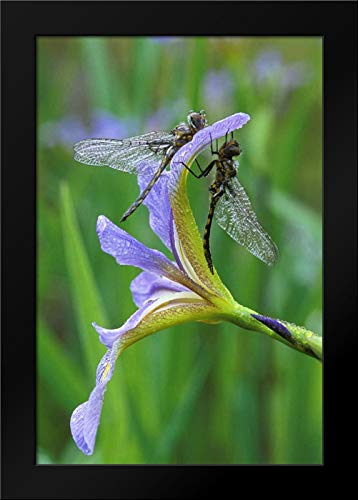 - USA, Pennsylvania Two Dragonflies on iris Flower 17x24 Framed Art Print by Rotenberg, Nancy