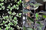 Holy basil Seeds, RED LEAF ,Native To India,known As Tulsi, Organic Herb !(500 Seeds)