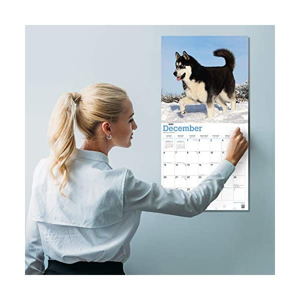 """Goldistock 2020 Large Wall Calendar -""""Siberian Huskies"""" - 12"""" x 24"""" (Open) - Thick & Sturdy Paper - - Fun-Loving and Outgoing Dogs 5"""