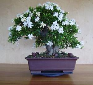 (Go Garden 10 pcs Jasmine, Arabian Jasmine Aromatic Plant Good Smell Chinese Flower for Home Garden Planting Bonsai: 1)