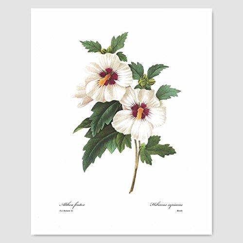 Rose of Sharon Art (White Wall Decor, Botanical Artwork, Hibiscus Garden Flower Print) Pierre Redoute -- (Womens Premium Hibiscus Antique)