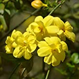 Cottage Hill Winter Jasmine 2 Piece Live Plant, Yellow Blooms