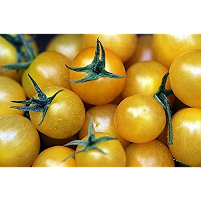 Golden Sweet Cherry Tomato (50 Seeds) : Garden & Outdoor
