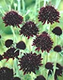 50+ Ace of Spades Scabiosa / Pincushion Flower Seeds / Perennial