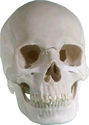life-size-human-skull-real-replica-reproduction-american-origin-by-nose-desserts