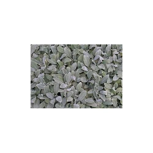 Wholesale (10 Count Tray of 1 Quart Pots) 'Silver Carpet' Lamb's Ear (Groundcover) Velvety Soft, Silver Leaves Form a Rapidly Spreading Mat, Rarely Flowers