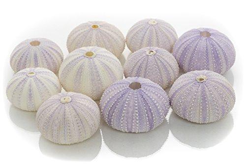 Sea Urchin | 10 Purple Sea Urchin Shell | 10 Purple Sea Urchin Shells for Craft and Decor | Nautical Crush Trading TM