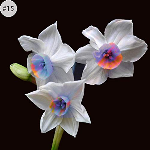 Daffodil Ornament - 100Pcs Daffodil Seeds Plant Home Office Ornament Garden Balcony Bonsai DIY Decor 15# Daffodil Seeds